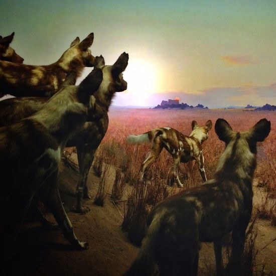 Wild Dogs diorama at the American Museum of Natural History. Eye4photography  Fltrlive American Museum Of Natural History IPhoneography