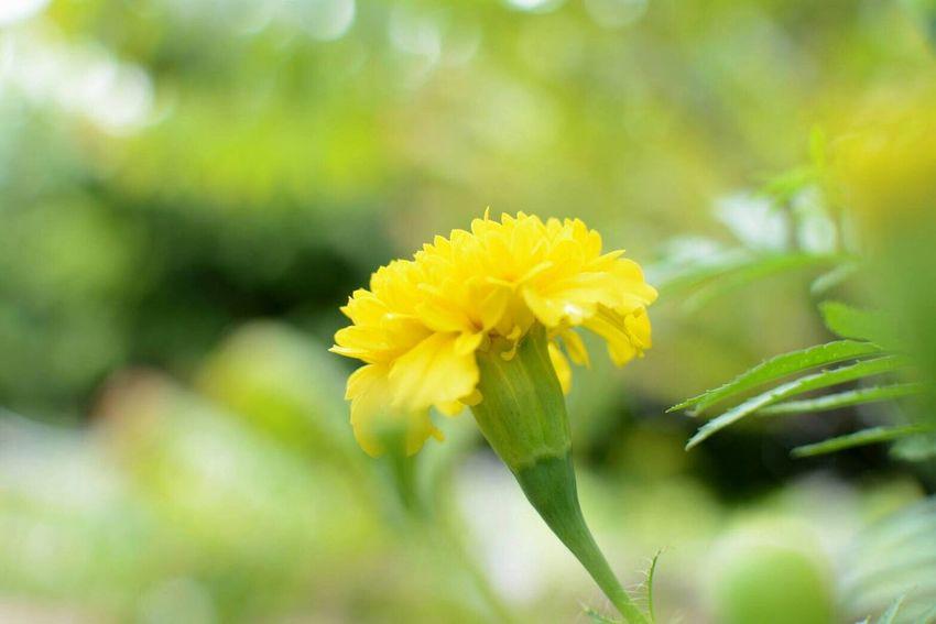 ดอกไม้ของพ่อ🌼 ( ดาวเรือง ) Flower Nature Close-up