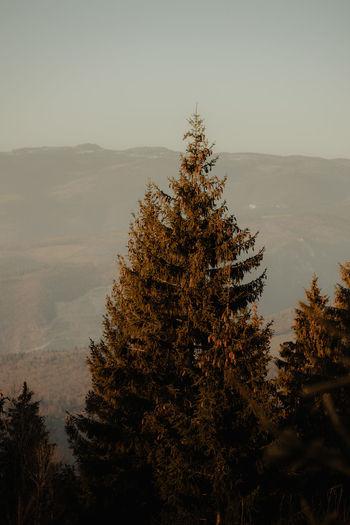 Pine tree on mountain against sky