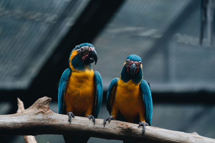 Close-up of parrots perching on wood