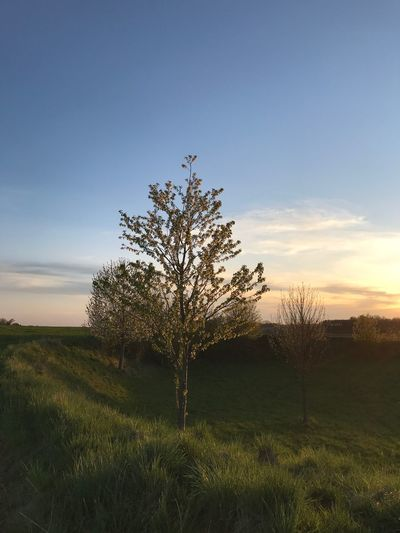 Plant Sky Sunset Tree Growth Beauty In Nature Tranquility Grass Nature Tranquil Scene Field Scenics - Nature Flower Outdoors Cloud - Sky Landscape