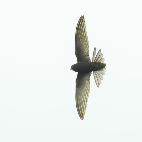 Close-up of a bird flying over white background