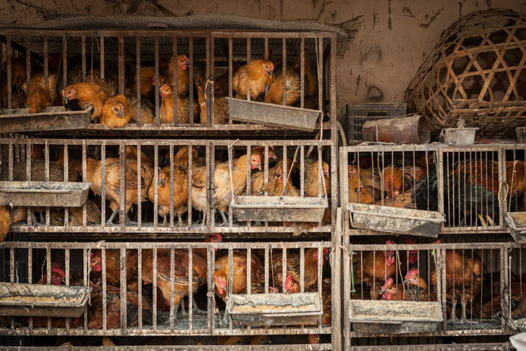 Hens In Cage At Shop For Sale
