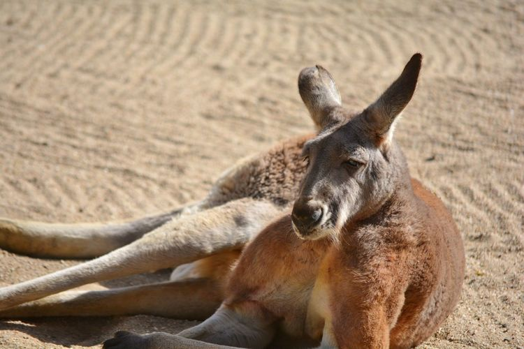A kangaroo resting on the sand