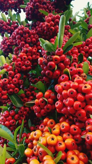 Red Fruit Growth Freshness Nature Healthy Eating Juicy Full Frame Close-up No People Outdoors Day Backgrounds Food