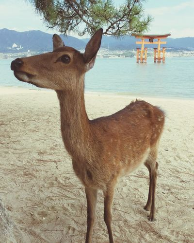 Deer Monument Tourism Japan Island Coast Tori