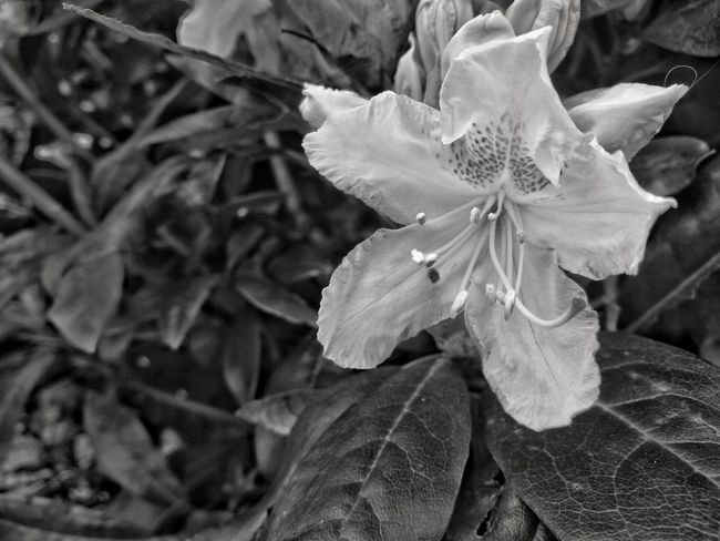 Nature Flower Fragility Petal Beauty In Nature Leaf Plant Flower Head Growth Close-up No People Day Outdoors Freshness Black And White Monochrome Blackandwhite