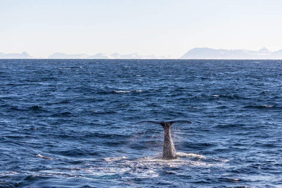 Animal Fin Animal Themes Animal Wildlife Animals In The Wild Aquatic Mammal Beauty In Nature Day Diving Horizon Over Water Mammal Nature Norway One Animal Outdoors Scenics Sea Sea Life Sky Sperm Whale  Swimming Vesterålen Water Waterfront Whale Winter The Great Outdoors - 2017 EyeEm Awards