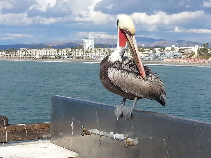 """""""Charlie"""".. Nofilternoedit Oceanside Pier Birds Animals Posing Hello World Famous Check This Out Naturenevergetsold Showcase July"""