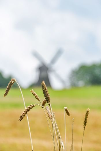 Nature Growth Focus On Foreground Field Day Agriculture Plant No People Cereal Plant Beauty In Nature Sky Wheat Outdoors Close-up Windmill