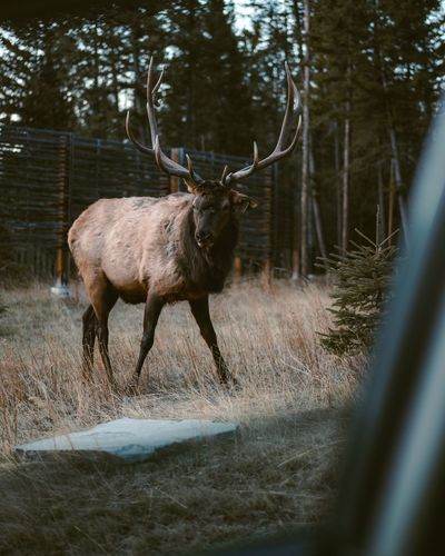 Elk Standing On Field Seen Through Car Window