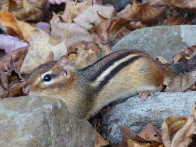 Chipmunk Close-up Chipmunk Animal Themes One Animal No People Mammal Animals In The Wild Rock - Object Nature Day Outdoors Close-up