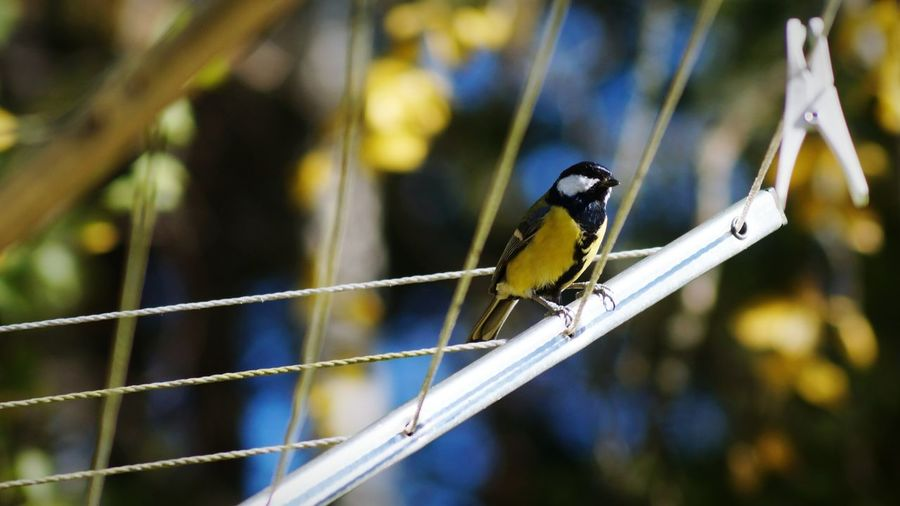 Great tit perching on clothesline