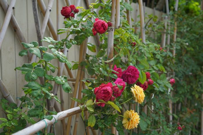 Rose - Flower Roses Nature Growth Red Beauty In Nature Blooming Garden Flowers Garden Gardenflowers