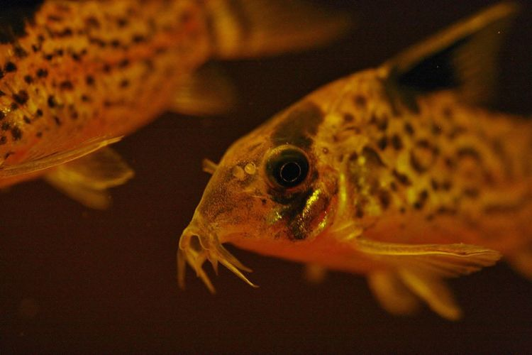 Corydoras melanistius Animal Themes Animal Wildlife Animals In The Wild Aquarium Close-up Day Fish Indoors  Nature No People One Animal Reptile Sea Life Swimming UnderSea Underwater Water
