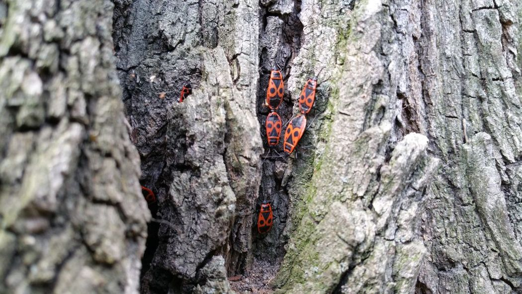 Feuerwanze Feuerwanzen Fire Bug Fire Bugs Wanze Insekt Insekten Insektenfotos Baumstamm Baumrinde Baum Nature Nature Photography Berlin