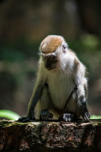Macaque Monkey Baby Monkey Ipoh Malaysia No People Close-up One Animal Animal Wildlife Highlights Looking At Camera Nature Outdoors Day Portrait Beauty In Nature Animal Themes Animals In The Wild Young Primate Shadows & Lights Sitting Bricks Full Length Visit Ipoh