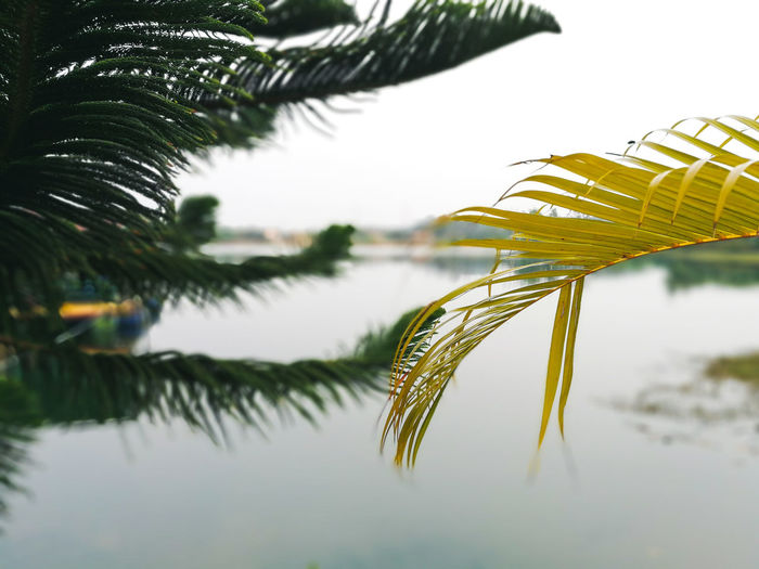 Plant Growth Tree Nature Beauty In Nature Sky No People Close-up Leaf Green Color Focus On Foreground Water Tranquility Plant Part Day Outdoors Reflection Lake Selective Focus Pine Tree Palm Leaf Leaves