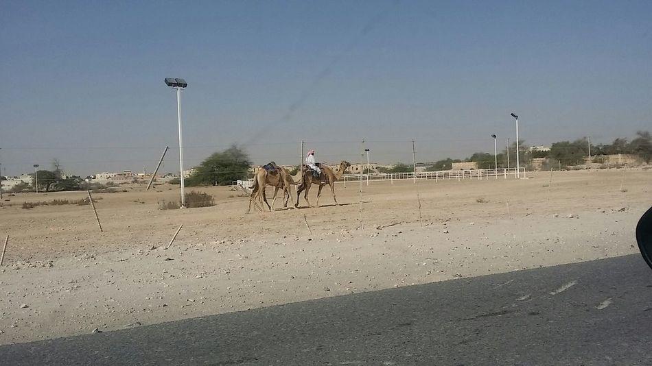 Camel Camel Ride