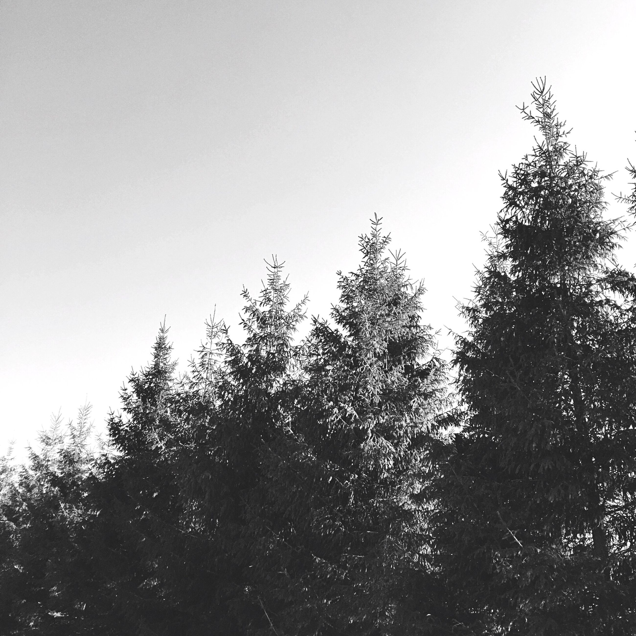 tree, clear sky, copy space, low angle view, tranquility, growth, beauty in nature, tranquil scene, nature, scenics, branch, sky, silhouette, outdoors, no people, day, idyllic, forest, non-urban scene