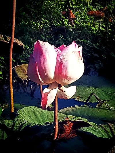 Close-up Day Flower Flower Head Flowering Plant Freshness Leaf Lotus Water Lily No People Outdoors Pink Color Plant Plant Part Water