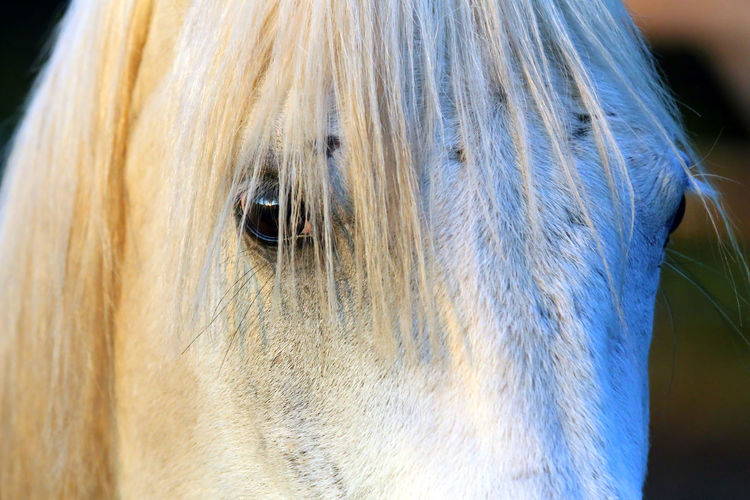 Extreme closeup of beautiful young grey colored arabian mare against natural background at sunset golden hour Arabian Breed Barn Beautiful Portrait Beauty Black Color Closeup Corral Day Domestic Animal Equestrian Life Equine Extreme Eye Eyes Close Up Face Farm Horses Farmers Market Farming Filly Gray Grey Head Shot  Herding Long Mane Looking Backwards Mammal Meadow Natural Background Nature Nobody Outdoor Outdoors Paddock Purebred Animals Ranch Riding Rural Scene Saddles Shagya Arab Side View Space Sport Stable Horse Stallion Stud Summer Season Sun Sunset Background Thoroughbred Horse White Color Animal One Animal Animal Themes Horse Animal Body Part Domestic Animals Domestic Pets Close-up Livestock Mane Animal Wildlife Animal Head  Hair Vertebrate Animal Hair No People Focus On Foreground Animal Eye Herbivorous Snout Animal Nose