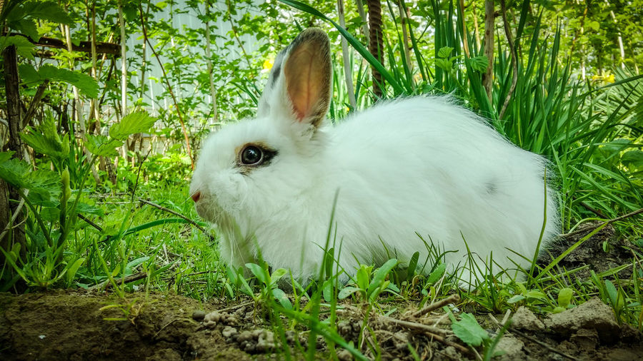 Rabbits Animal Themes Animals In The Wild Close-up Day Domestic Animals Grass Green Color Growth Mammal Nature No People One Animal Outdoors Pet Pets Plant Rabbit Whiterabbit