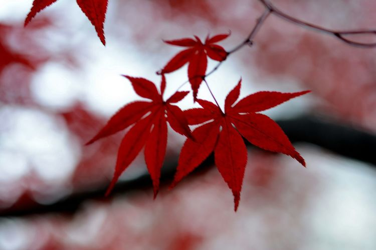 Close-Up Of Red Autumn Leaves