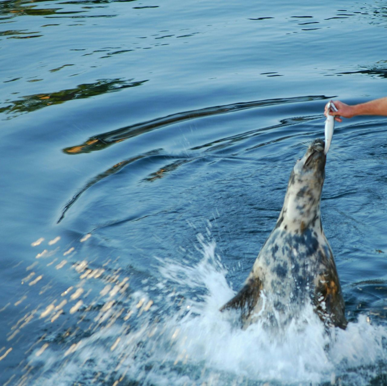 Cropped Image Of Man Feeding Seal