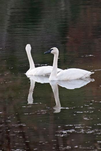 Trumpeter Swans Animals In The Wild Bird Animal Swan Reflection Nature Outdoors Trumpeter Swan White Cygnus Buccinators Cygnet Adult Lake