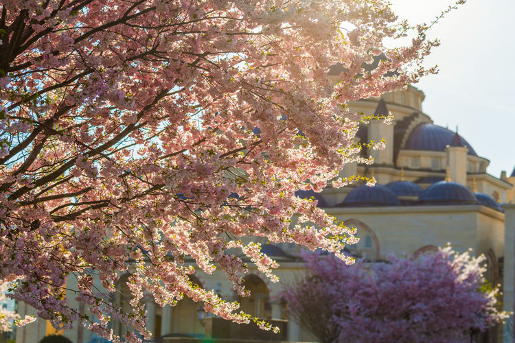 Cherry blossom tree by building