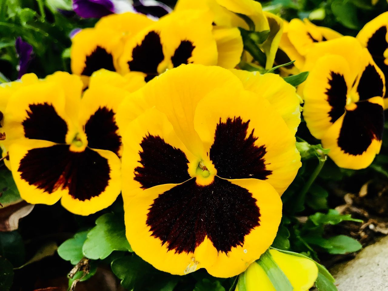 yellow, flower, flowering plant, flower head, beauty in nature, plant, fragility, petal, inflorescence, vulnerability, close-up, growth, freshness, nature, focus on foreground, no people, day, pollen, pansy, outdoors, softness