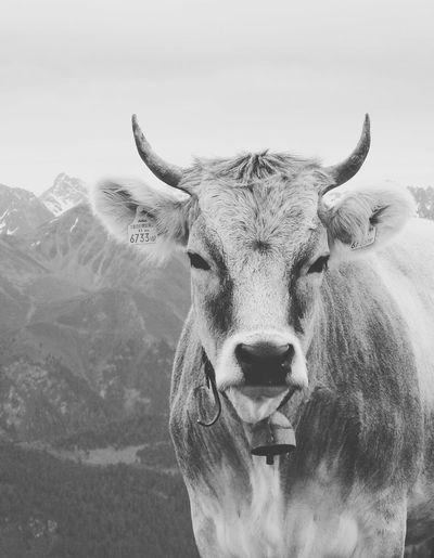 Portrait of cow against mountain