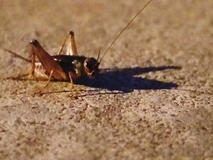 Cricket Shadow No People Outdoors Nature Crickets Cricket! Insect Insects  Shadow Nature Nature Photography EyeEmNewHere Beauty In Nature Close-up The Week On EyeEm