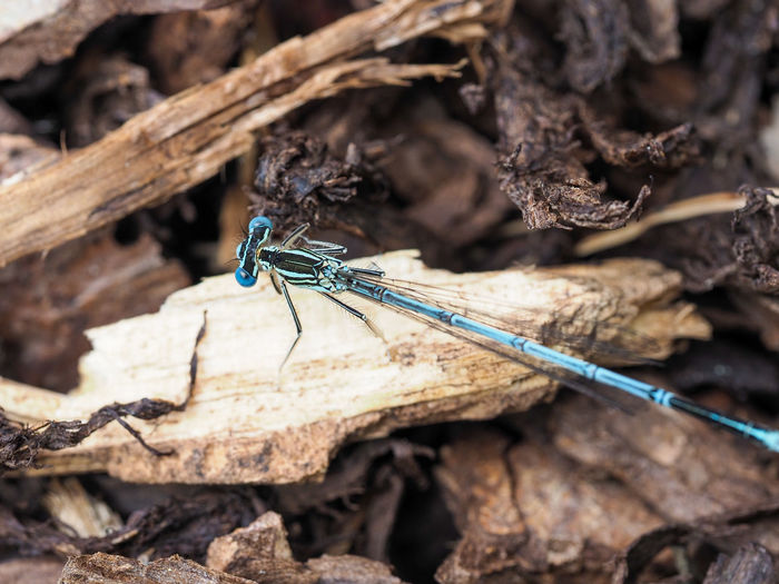 Blue featherleg dragonfly, platycnemis pennipes on a peace of wood