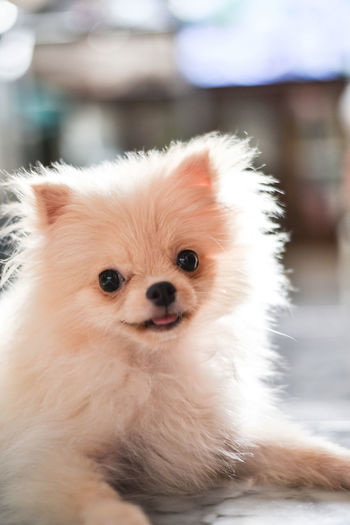 Light brown Pomeranian puppy looking to camera with smile in marble floor room in bokeh background Domestic Pets Animal Animal Themes Mammal Domestic Animals One Animal Canine Dog Pomeranian Vertebrate Portrait Focus On Foreground Looking At Camera Close-up Cute No People Looking Animal Hair Small Animal Head  Pomeranian Puppy Doggy Adorable Happy Bokeh Light And Shadow Brown Fluffy Blurred Background