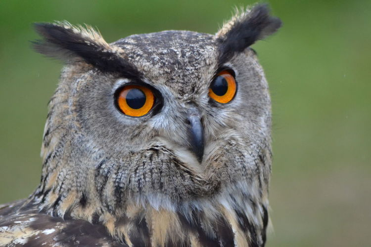 Birds Of EyeEm  Owl Eyes Birdsofprey Bird Photography Eagle Owl  Bird Of Prey Owls Are Cute