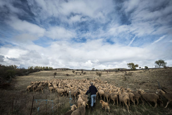 Countryside lifestyle in the province of Soria SPAIN Soria Agriculture Animal Cattle Cloud - Sky Countryside Cow Day Domestic Animals Field Fields Flock Of Sheep Grazing Herbivorous Herd Horse Landscape Large Group Of Animals Livestock Mammal Men Nature One Person Outdoors Real People Rear View Sheep Sheeps Sky Standing