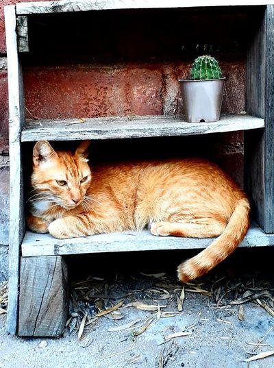 milo Cat Orange