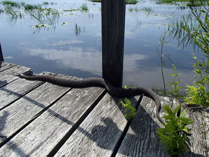 Couleuvre d'eau - Northern water snake (Parc national d'Oka) Water Snake Water Lake Nature Tree Day Reflection Sunlight Outdoors
