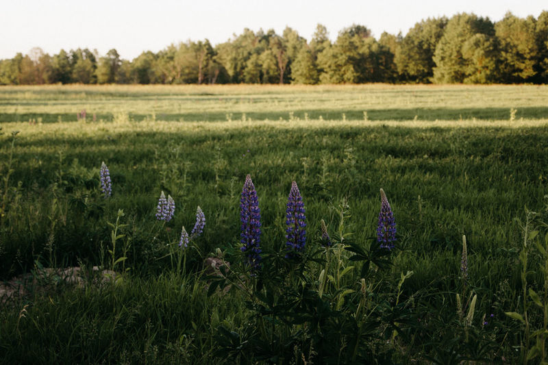 Lupines Grassland Plant Land Landscape Field Beauty In Nature Environment Growth Nature Scenics - Nature Flower Flowering Plant Day Tranquility Agriculture Tranquil Scene Rural Scene Outdoors Tree Farm Sky No People Purple