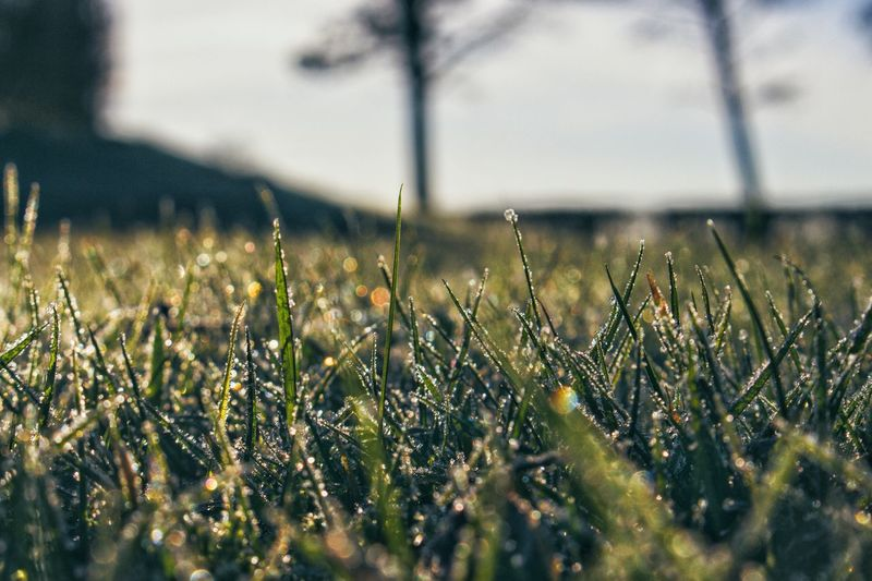 Dew Dewdrops Dewdrops On Grass Golden Morning Low Angle View Green Growth Nature Day No People Outdoors Field Plant Grass Close-up Flower Rural Scene Beauty In Nature Freshness EyeEmNewHere Shades Of Winter