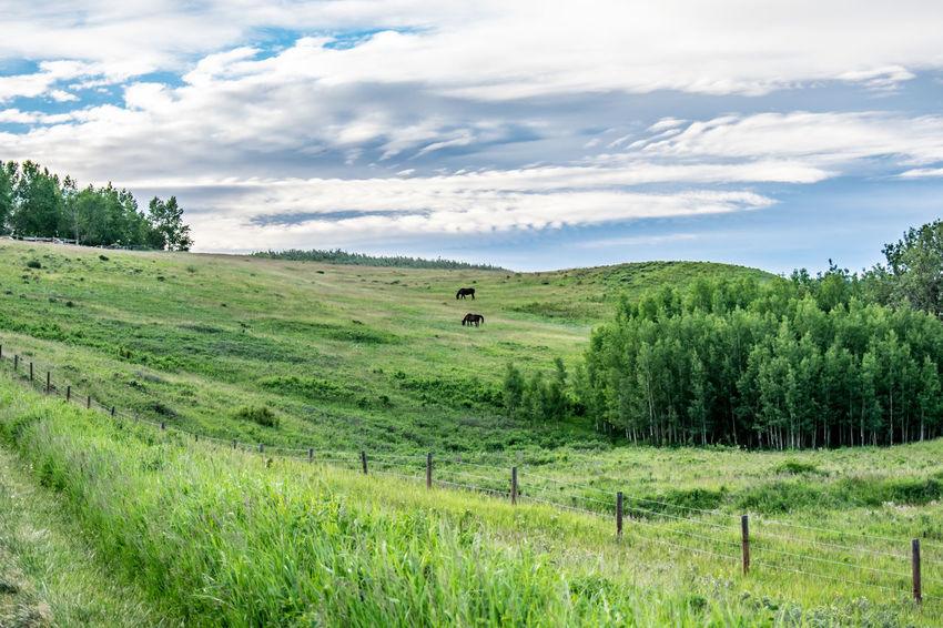 Animal Themes Beauty In Nature Cloud - Sky Cochrane, Alberta Cow Day Domestic Animals Farm Animal Field Glenbow Ranch Provincial Park Grass Grazing Green Color Growth Landscape Livestock Mammal Nature No People Outdoors Scenics Sky Tranquil Scene Tranquility Tree
