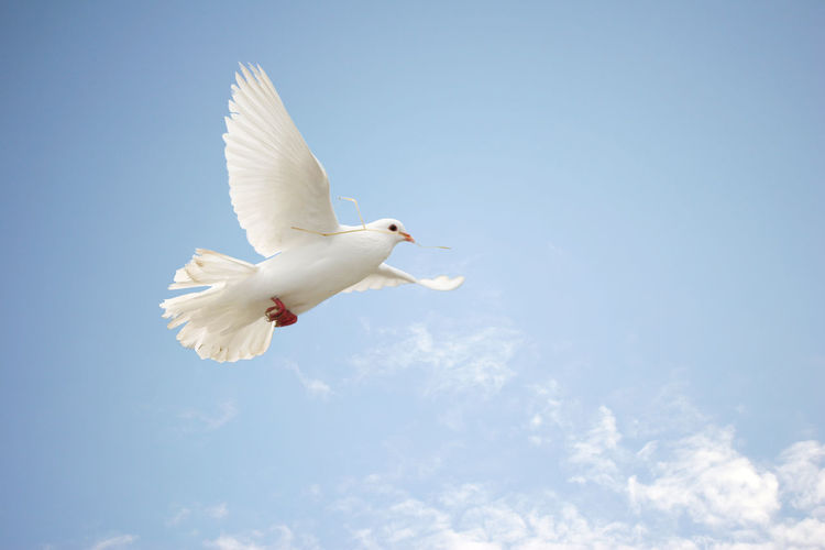 White dove in flight Animal Animal Themes Animal Wildlife Animals In The Wild Bird Clear Sky Dove Flying Low Angle View Nature No People One Animal Outdoors Peaceful Sky Spread Wings White White Color