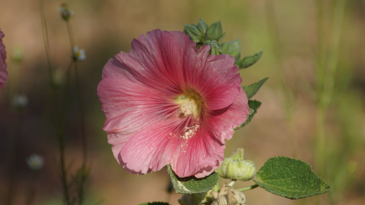 flower, nature, petal, flower head, fragility, plant, growth, beauty in nature, pink color, focus on foreground, no people, freshness, day, blooming, close-up, outdoors, hibiscus, petunia