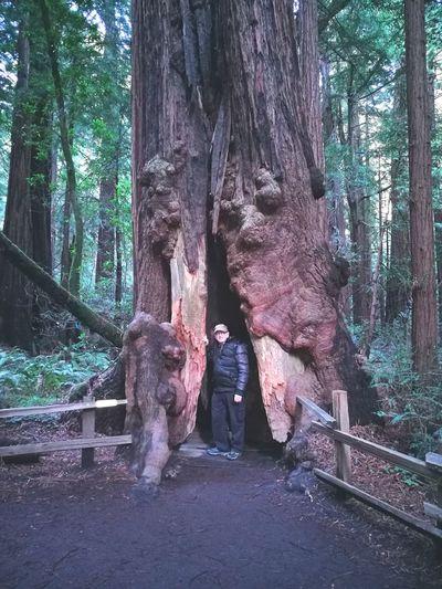 עצי סקויה ענקיים.