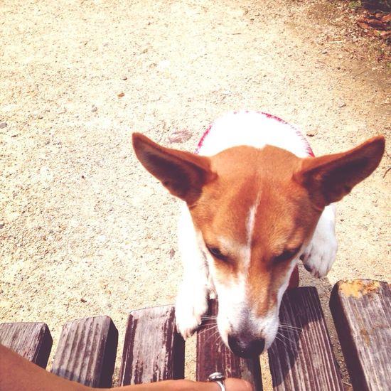 Jack Russell Dog Max Takahashi