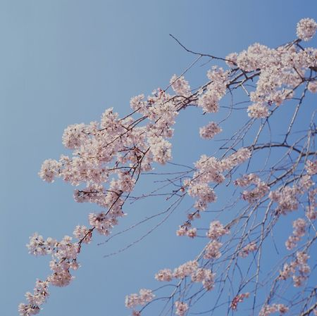 Film Flower Nature Travel Photography Traveling Sakura Japan Kansai Kyoto