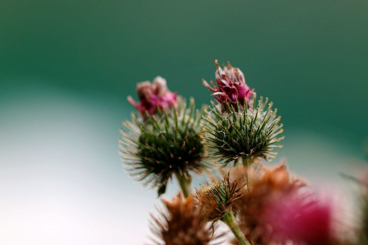 Close-Up Of Thistle Against Blurred Background