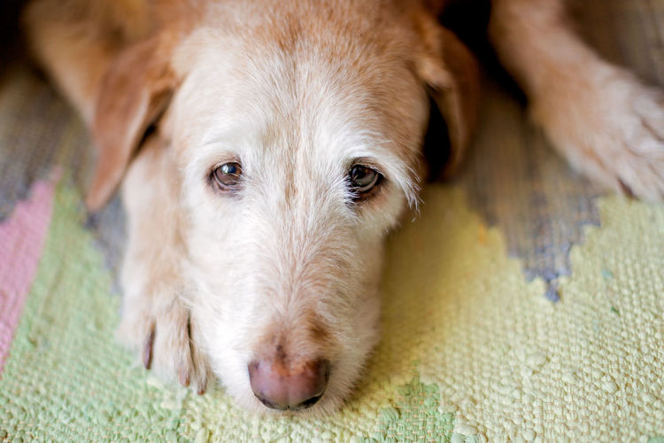 Close-up portrait of dog lying on rug